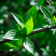 Green Branch Live Wallpaper