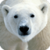 Beautiful Polar Bear Live Wallpaper HD