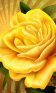 Rose at rainy weather Live WP